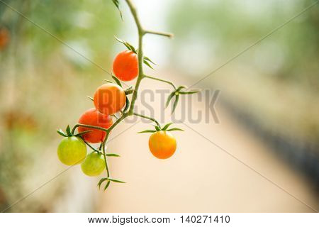 Sweet Cherry Tomato Farm