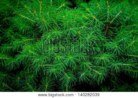 Fresh green conic fir branches, background of christmas tree branches, nice dark green color