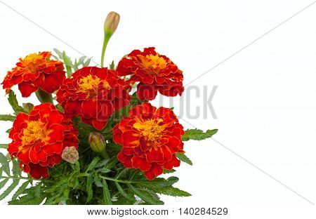 Beautiful Flowers Marigolds, Closeup And Blank Place For Your Text, Isolated On White Background.