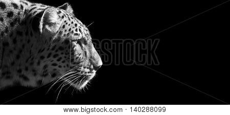 Website banner of a beautiful leopard portrait on a black background