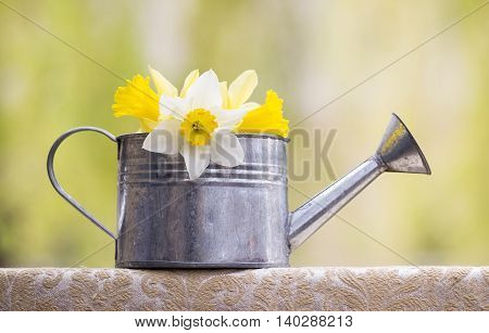 Beautiful Easter daffodil flower in a watering can in Spring