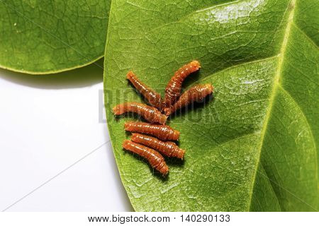 Third Instar Caterpillar Of Banded Swallowtail Butterfly