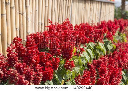 Red celosia flower and bamboo wall in the garden