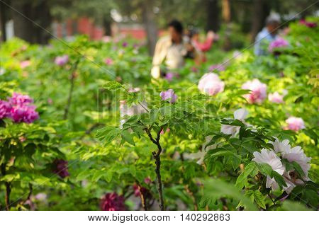 Tree peonies in a garden within Jingshan Park in Beijing China.