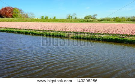 Pretty pink blooming Hyacinth plants in the large field of a specialized Dutch grower. In the foreground is a canal.