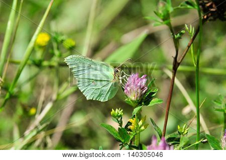 Brimstone butterfly. Gonepteryx rhamni (known as the common brimstone) is a butterfly of the Pieridae family.