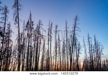 Dead Lodgepole Pine Trees
