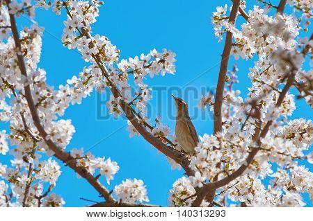 Spotted Flycatcher (Muscicapa Striata) among the Sakura Flowers