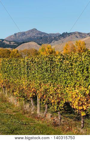closeup of vineyard in autumn in New Zealand