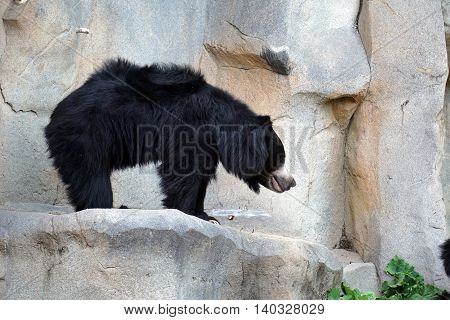 A sloth bear (Melursus ursinu), also called the Stickney bear and labiated bear, stands on a ledge.