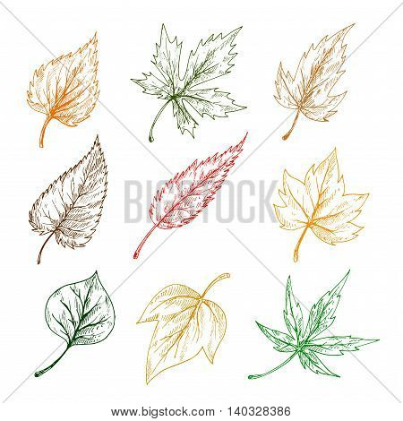 Leaves of trees and plants. Pencil sketch vector leaf icons of maple, birch, aspen, chestnut, elm, poplar