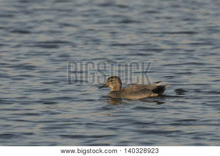 Gadwall (Anas strepera) male swimming in water