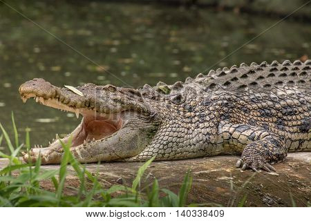 Indian crocodile (mugger or marsh) side view with jaws open