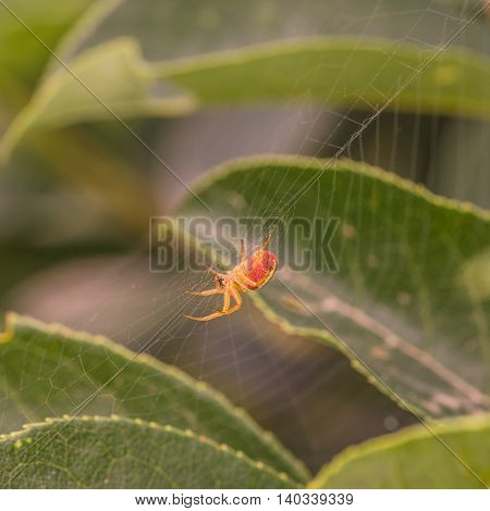 Macro of a red and orange spider in its web.