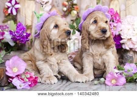 English Cocker Spaniel puppies in a floral hat