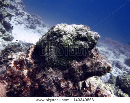 Dangerous stone fish underwater world Egypt Dahab Red sea.