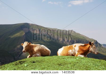 poster of Tow cows at the top of hill in summer