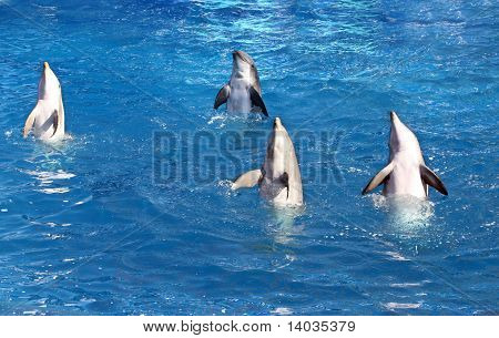 Four young dolphins performing in amusement park poster