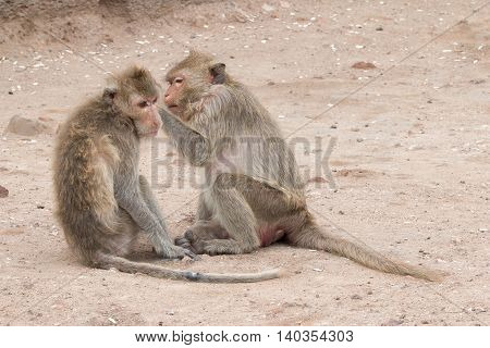 Monkey (long-tailed Macaque, Crab-eating Macaque) In Prang Sam Yot In Lopburi, Thailand.