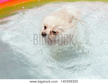 White pomeranian dog shakes off water when swimming