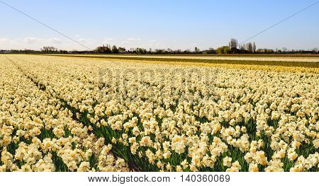Yellow-hearted white blooming Daffodils or Narcissus plants growing on a large field of a specialized Dutch bulbs grower. It is springtime now.