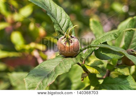 Common medlar fruit (Mespilus) on tree. Copy space