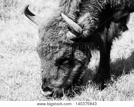 Detailed view of endangered european wood bison, or wisent, in Bialowieza primeval forest, Poland and Belarus . Black and white image.