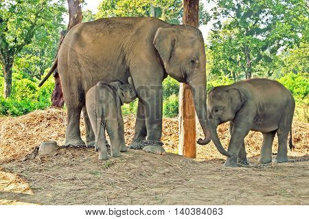 Elephant mother and two babies in the breeding centre, Chitwan National Park, Nepal