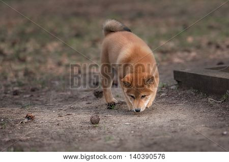 The Puppy Shiba Inu Is Playing With The Fir Cones