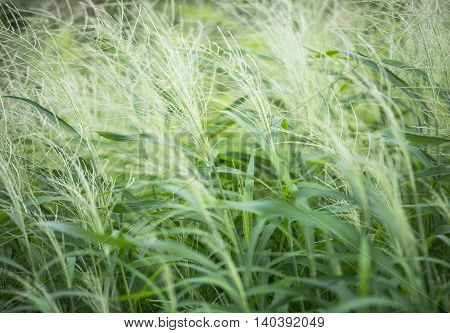 Grass( soft focus)/Green Meadow as a natural airflow
