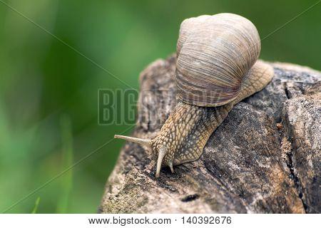 a big grape snail brown snail creeps on a long snag