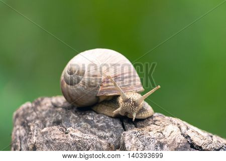 a big grape snail, brown  reeps on a long snag,