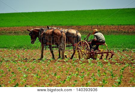Lancaster County Pennsylvania - June 8 2015: Amish farmer at work tilling a field of growing produce with a team of two horses *