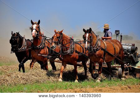 Lancaster County Pennsylvania - June 8 2015: Amish farmer with a team of four horses plowing a field for summer planting *