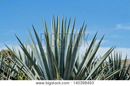 Agave tequila landscape to Guadalajara Jalisco Mexico.