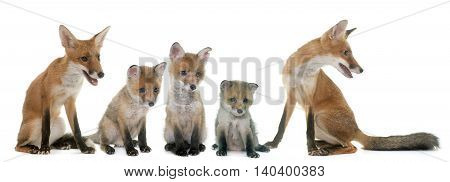 fox family in front of white background