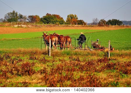 Lancaster County Pennsylvania - October 19 2015: Amish farmer plowing a field with a team of three donkeys *