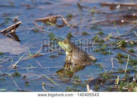Toad sitting in a marsh with his reflection in the water.