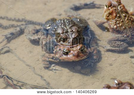 Pair of two breeding frogs in shallow water.