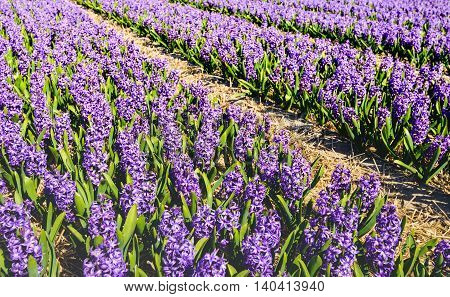 Bright purple flowering hyacinth plants in a large field of a specialized Dutch bulb grower. It's a sunny day in the spring season now.