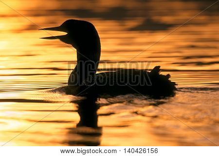 Common Loon swimming in lake at sunset