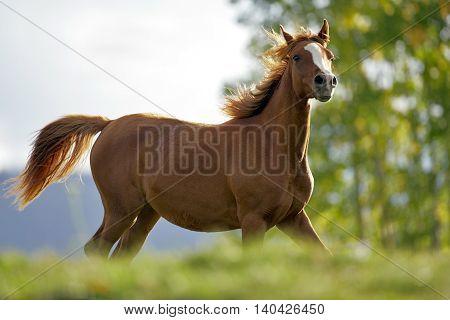 Chestnut Arabian Foal running on meadow alert