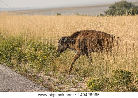 A single bison calf in grasslands near Great Salt Lake in Utah crossing the road