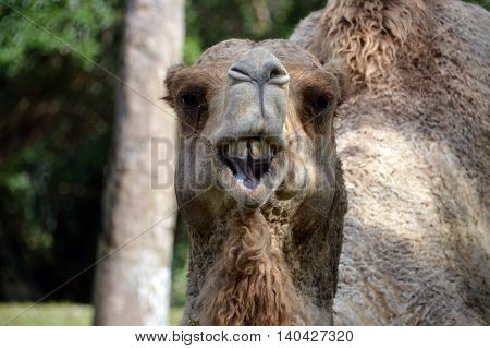A photo of a camel showing its teeth