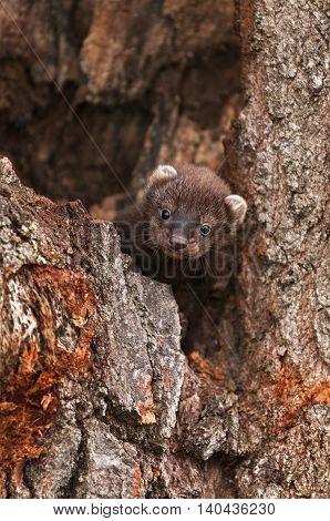 Fisher (Martes pennanti) Kit Hides in Log - captive animal