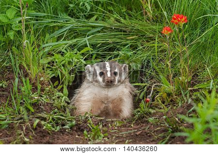 North American Badger (Taxidea taxus) Sits in Den - captive animal