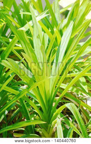 Pandanus Palm in the garden in thailand