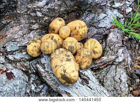 potatoes, yukon gold tubers garden vegetable summer