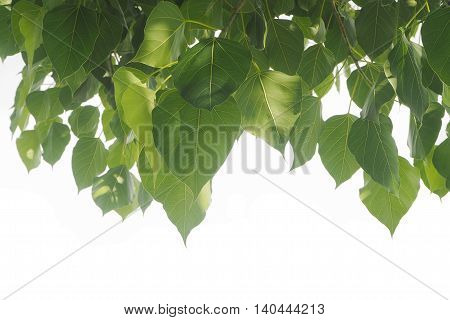 Bodhi leaf frame with copy space and white background.