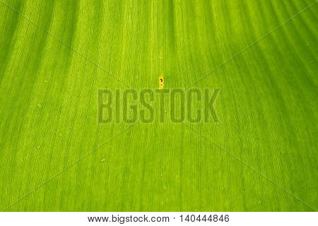 close up of green banana leaf background texture.